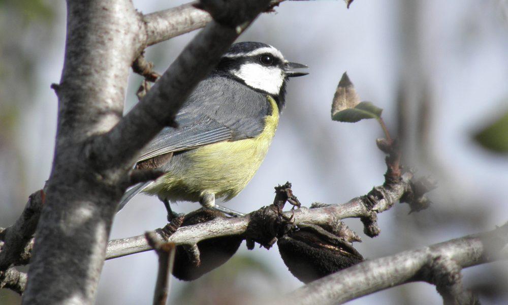 Herrerillo en Tenerife durante una observación de aves
