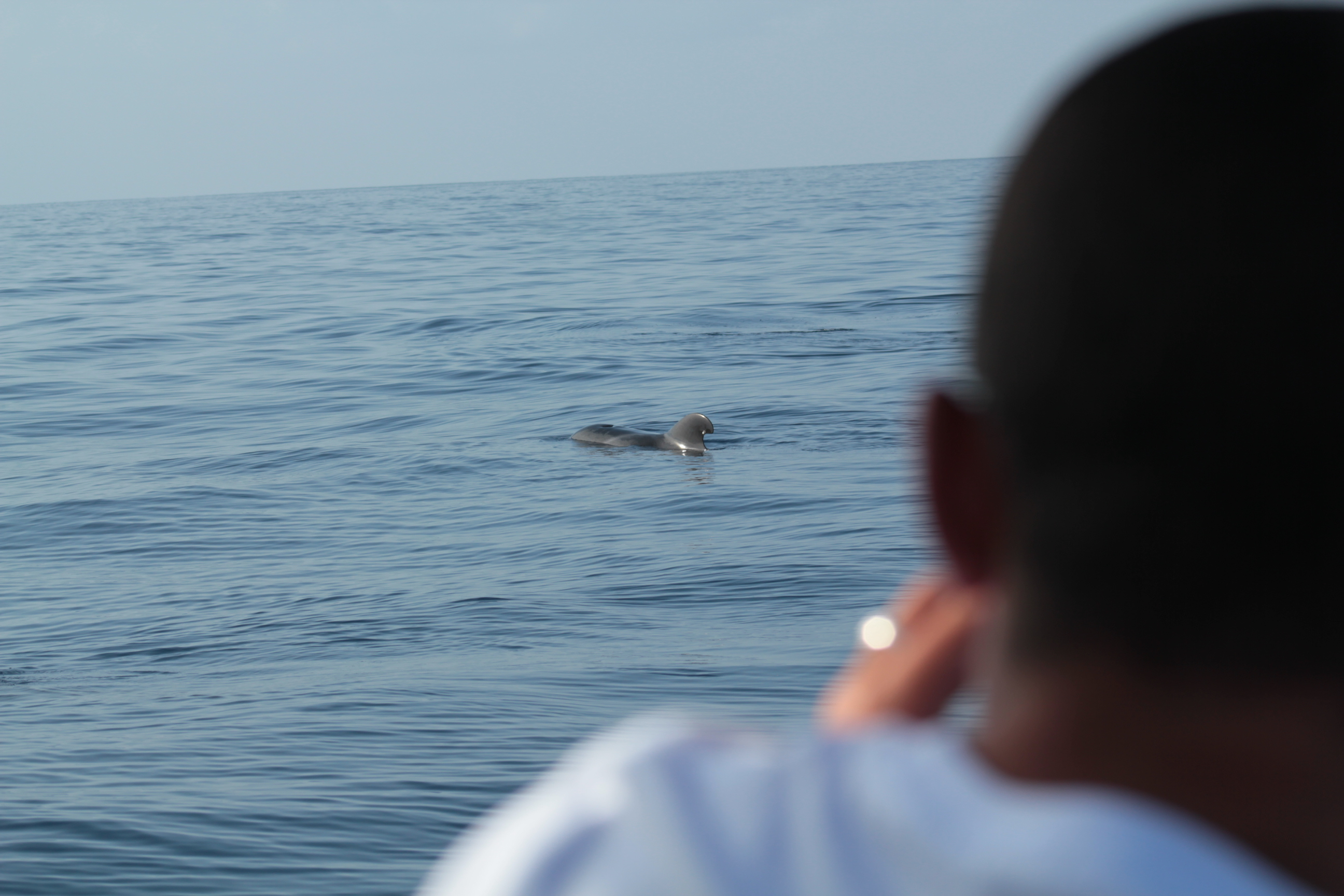 Pilot whale during whalewatching