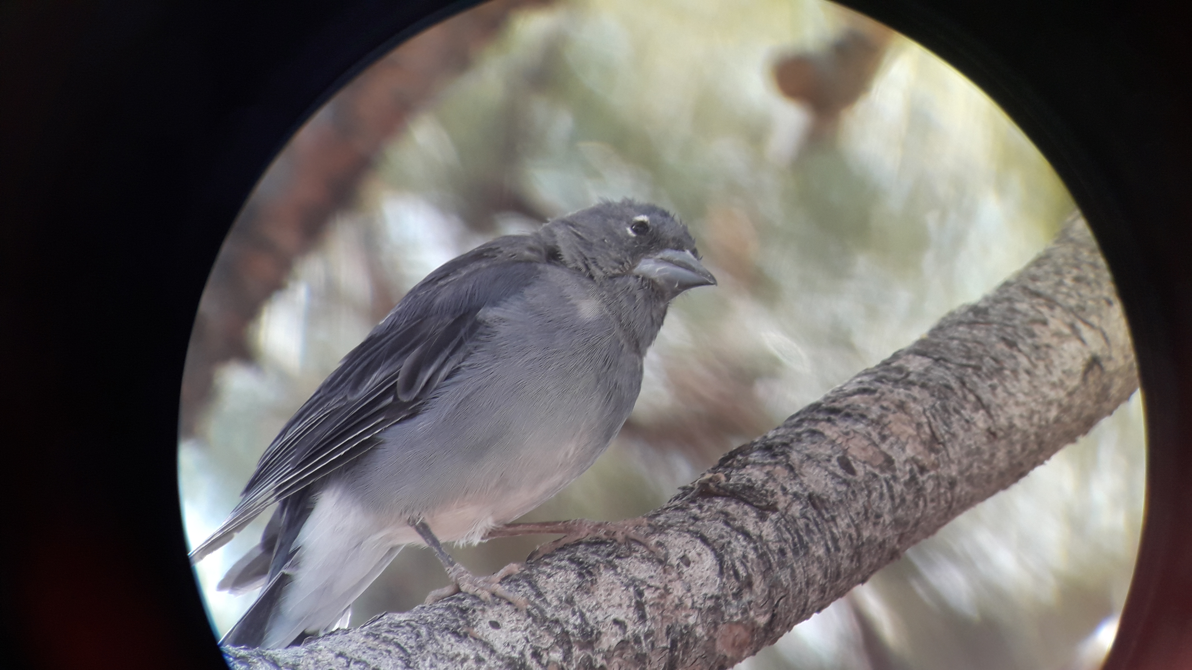 Blue chaffinch of Tenerife through a telescope